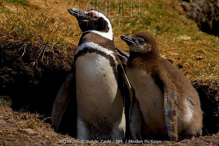 Magellanic penguin (Spheniscus magellanicus) parent and 2-week chick, waiting outside burrow for the return of other parent, to change guard and feed chick  -  Solvin Zankl/ npl