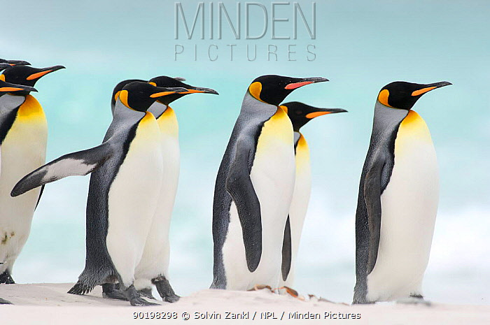 Group of King penguins (Aptenodytes patagonicus) walking on beach, Falkland Islands  -  Solvin Zankl/ npl