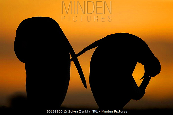 Silhouette of two King penguins (Aptenodytes patagonicus) preening at sunset, Falkland Islands  -  Solvin Zankl/ npl