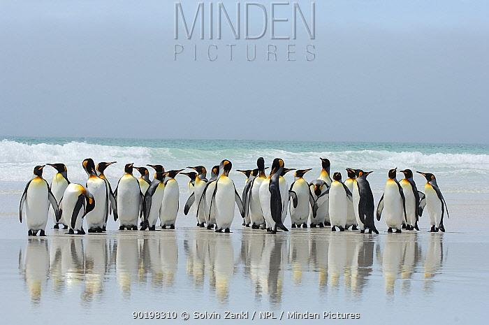 Group of King penguins (Aptenodytes patagonicus) walking up beach, Falkland Islands  -  Solvin Zankl/ npl