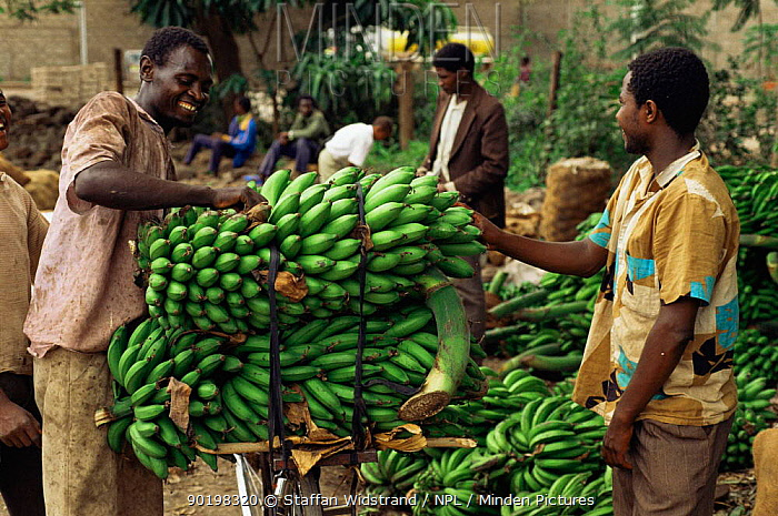 Matoke, Plantains (food bananas) transported by bicycle to market, Lake Manyara, Tanzania, East Africa  -  Staffan Widstrand/ npl