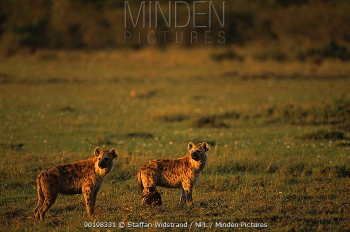 Two Spotted hyaenas (Crocuta crocuta) Masai Mara NR, Kenya, East Africa  -  Staffan Widstrand/ npl