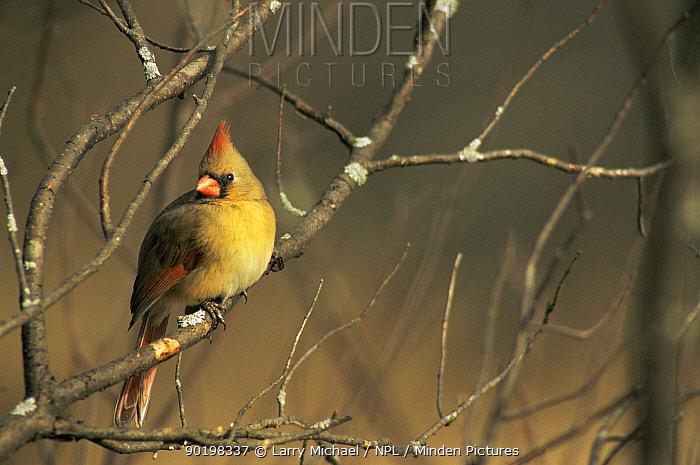 Northern cardinal (Cardinalis cardinalis) female, Wisconsin, USA  -  Larry Michael/ npl