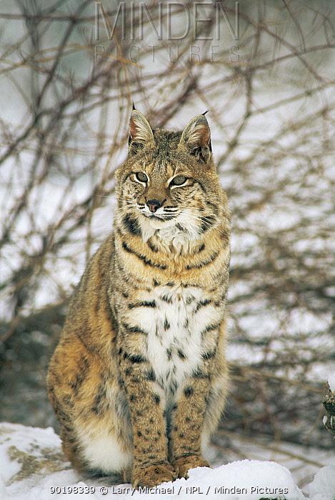 Bob cat in snow (Felis rufus) captive, Illinois, USA  -  Larry Michael/ npl