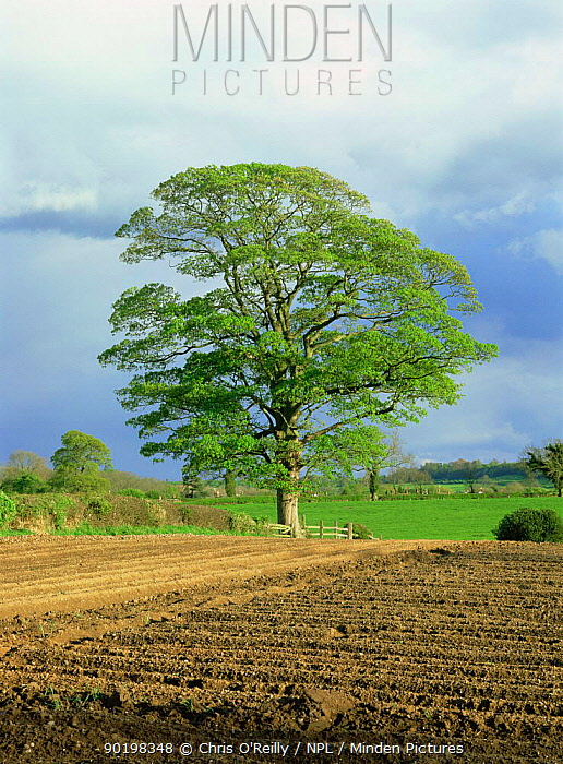 Field maple tree (Acer campestre) in hedgerow of ploughed field, Derbyshire, UK  -  Chris O'Reilly/ npl