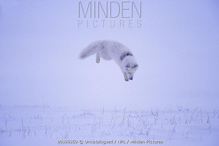 Arctic fox (Alopex lagopus) hunting rodents under the snow, North Slope, Alaska Sequence 2, 3  -  Steven Kazlowski/ npl