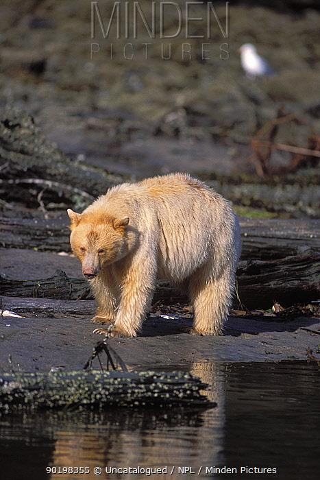 Spirit, Kermode bear (Ursus americanus kermodei) sow looking for salmon along beach, Central British Columbia, Canada  -  Steven Kazlowski/ npl