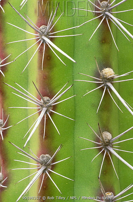 Close up of spines of Octopus Cactus (Stencereus alamosensis) Desert Botanical Museum, Phoenix, Arizona, USA  -  Rob Tilley/ npl