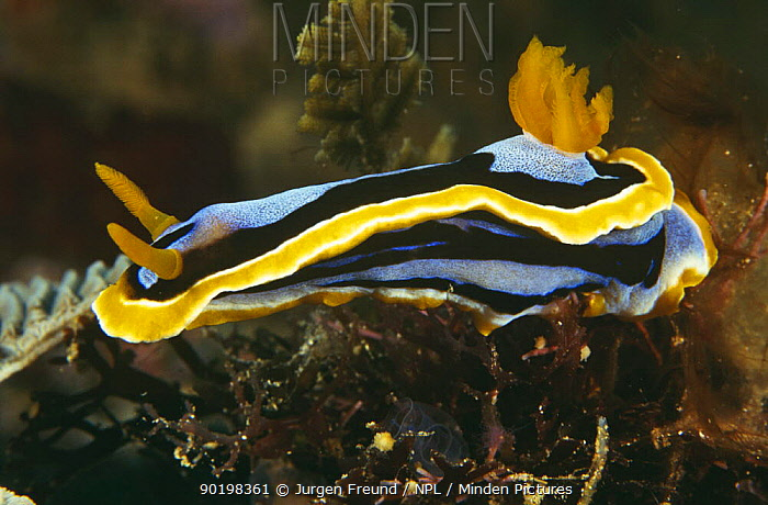 Nudibranch (Chromodrois sp) Philippines  -  Jurgen Freund/ npl