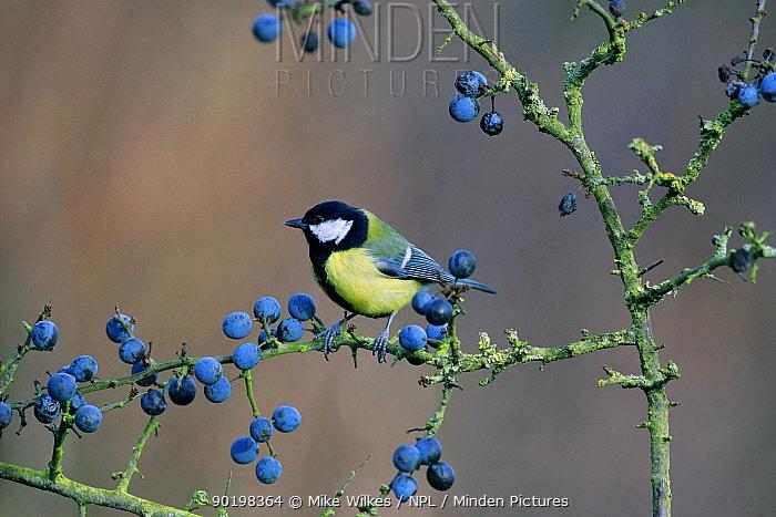 Great tit (Parus major) perched amongst Blackthorn sloe berries, Warwickshire, UK  -  Mike Wilkes/ npl