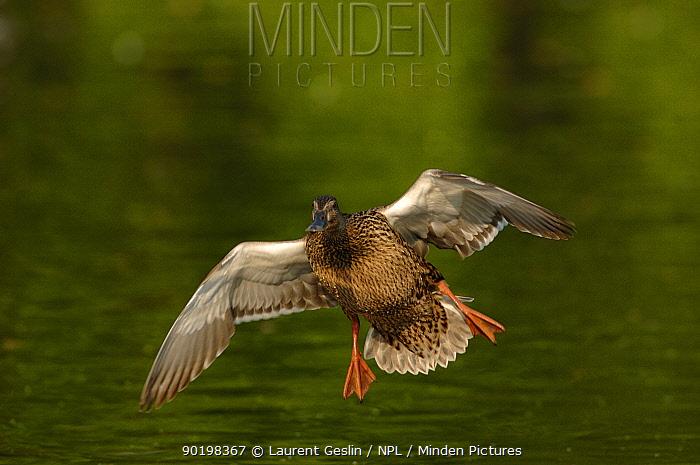 Mallard female preparing to land on water (Anas platyrhynchos) UK  -  Laurent Geslin/ npl