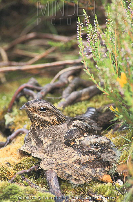 Nightjar (Caprimulgus europaeus) female camouflaged on nest with chick, France  -  Laurent Geslin/ npl
