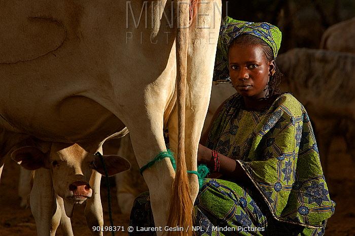 Fulani woman milking cow, North Senegal, West Africa  -  Laurent Geslin/ npl