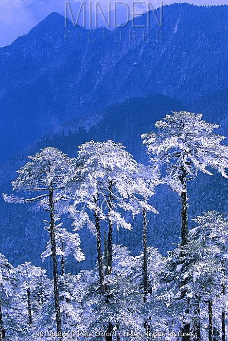Snow covered trees in Trumsingla Pass, 12,500 feet Eastern Bhutan  -  Pete Oxford/ npl