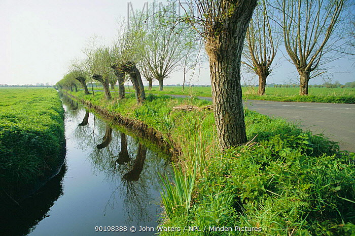 Pollarded willows beside dykes, drainage system, Somerset Levels, England  -  John Waters/ npl