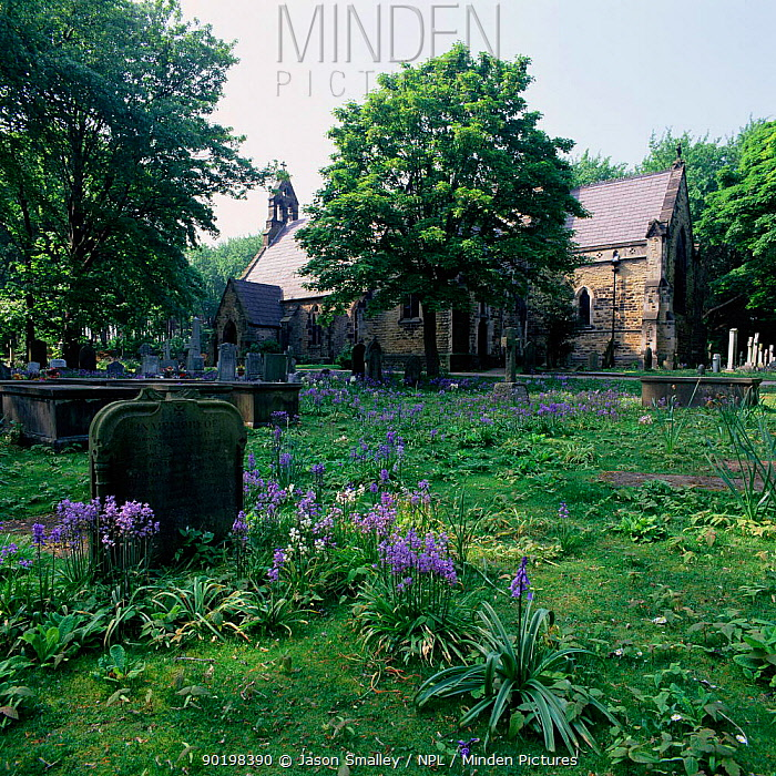 Bluebells (Endymion nonscriptus) in churchyard Formby, Lancashire, UK  -  Jason Smalley/ npl