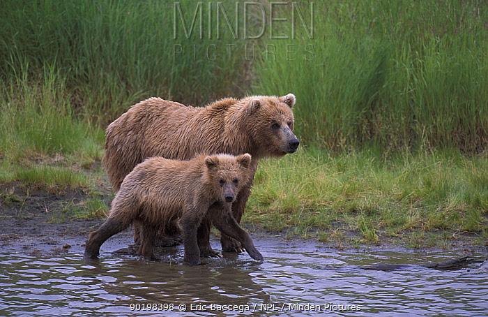 Grizzly brown bear with cub at river (Ursus arctos horribilis) Brooks river, Alaska  -  Eric Baccega/ npl