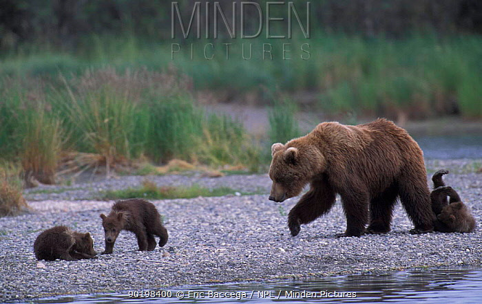 Grizzly bear mother and four young cubs (Ursus arctos horribilis) Alaska US, Brooks  -  Eric Baccega/ npl