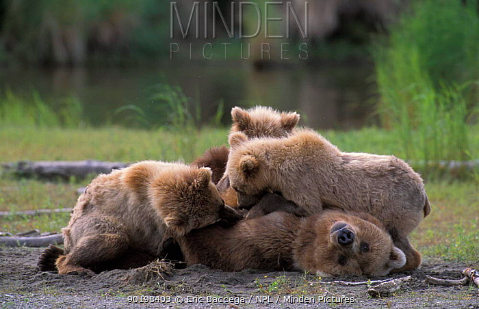 Grizzly bear suckling three cubs (Ursus arctos horribilis) Brooks river, Alaska, USA  -  Eric Baccega/ npl