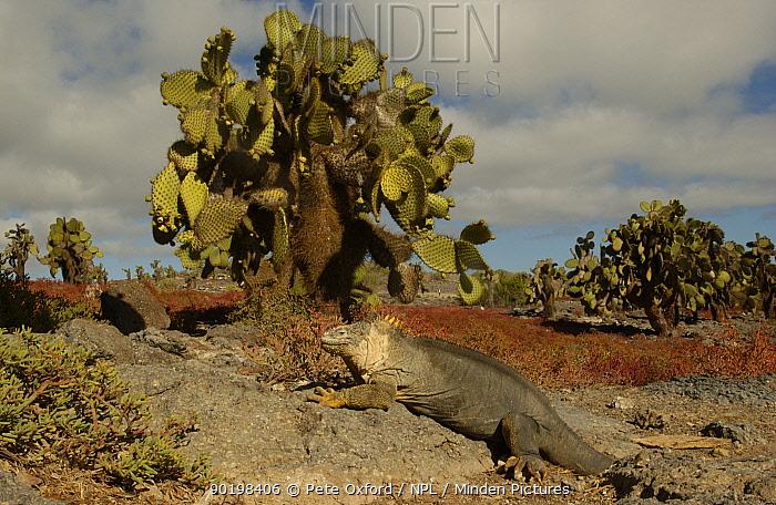 Land Iguana (Conolophus subcristatus) South Plaza Is Galapagos  -  Pete Oxford/ npl