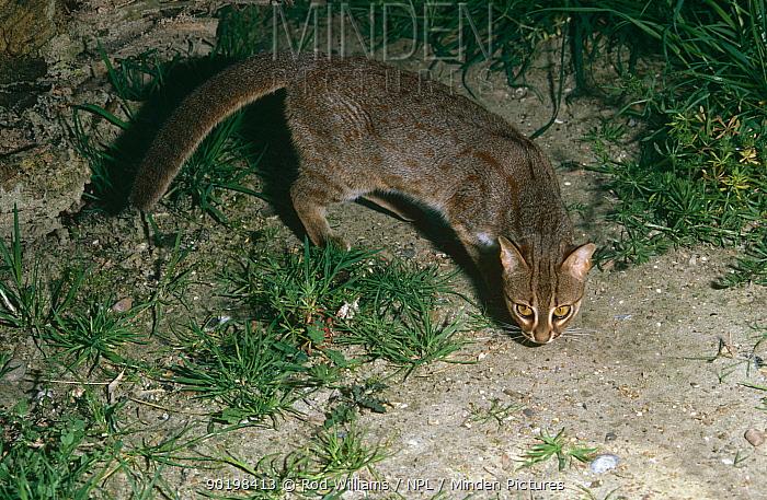 Rusty-spotted cat (Felis rubiginosus phillipsi) Sri Lanka  -  Rod Williams/ npl