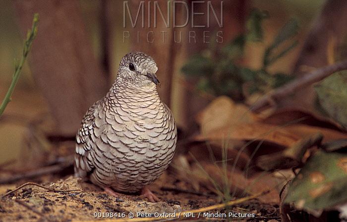 Scaled dove (Columbina squammata) Cerrado, Brazil  -  Pete Oxford/ npl