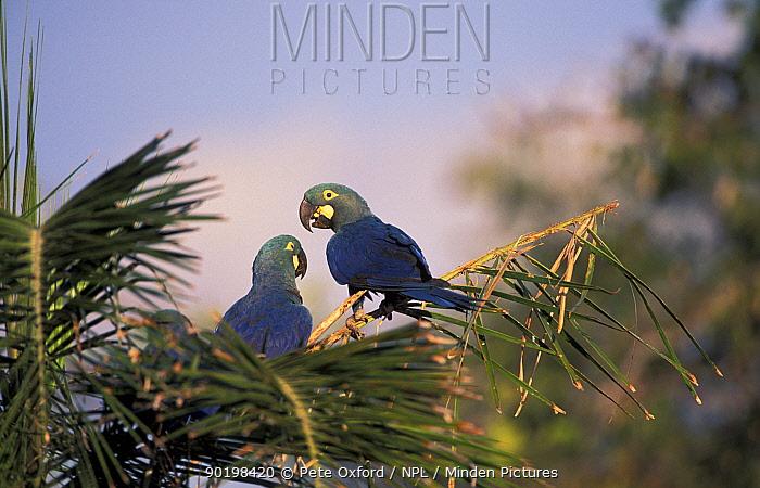 Lear's macaw (wild) Endangered (Anodorhynchus leari) Caatinga, Brazil on brink of extinction  -  Pete Oxford/ npl
