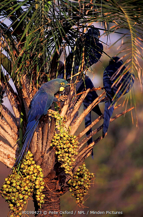 Lear's macaws (Anodorhynchus leari) feeding on Licuri palm fruit Caatinga, Brazil END on  -  Pete Oxford/ npl