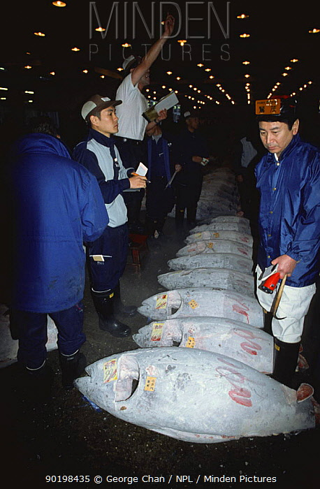 Tuna auction, Tsukiji fish market, Tokyo, Japan 2002  -  George Chan/ npl