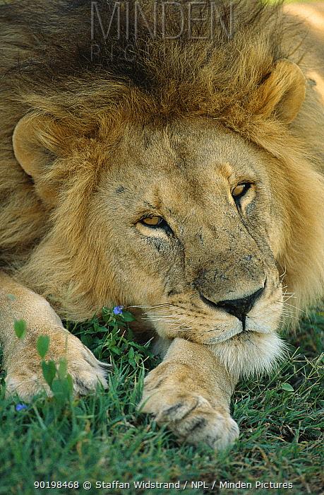 Male Lion resting (Panthera leo) Serengeti NP, Tanzania  -  Staffan Widstrand/ npl