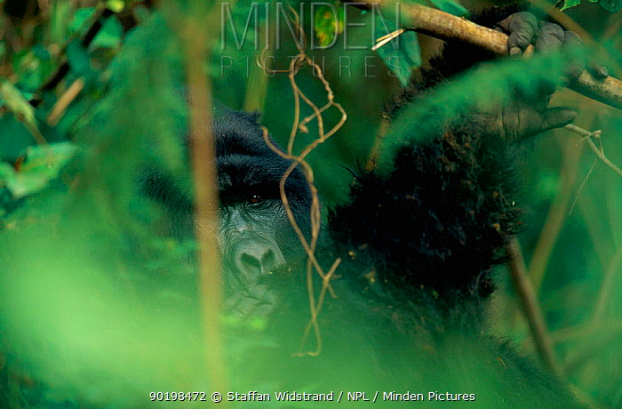 Mountain gorilla in rainforest (Gorilla gorilla beringei) Virunga NP DR Congo  -  Staffan Widstrand/ npl