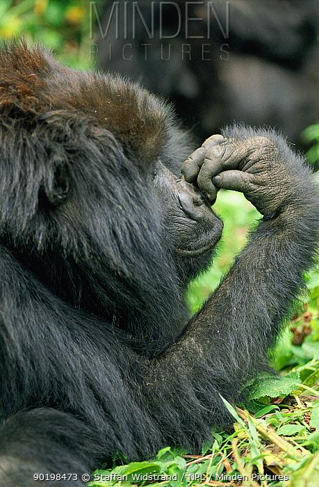 Mountain gorilla in rainforest (Gorilla gorilla beringei) Virunga NP DR Congo  -  Staffan Widstrand/ npl