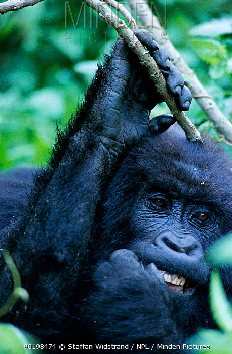 Mountain gorilla picking at teeth (Gorilla gorilla beringei) Virunga NP, DR Congo  -  Staffan Widstrand/ npl