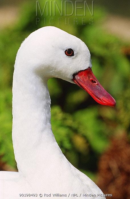 Coscoroba swan portrait (Coscoroba coscoroba) captive, from South America  -  Rod Williams/ npl