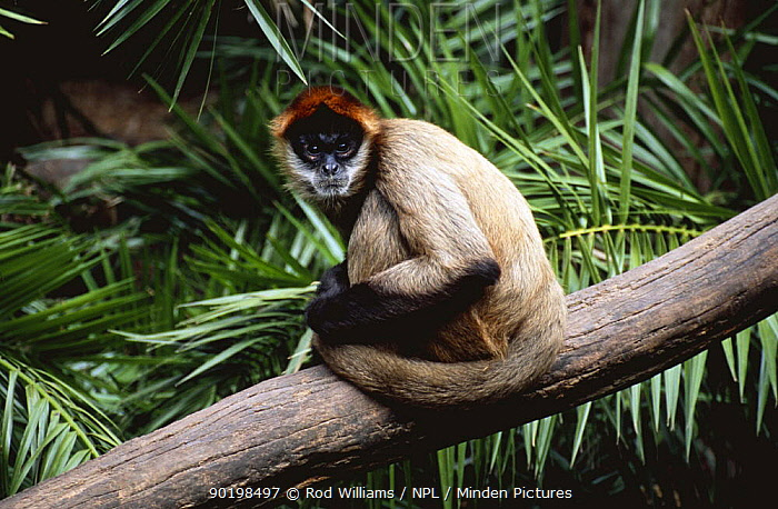 Black handed spider monkey (Ateles geoffroyi) captive, from Central America  -  Rod Williams/ npl