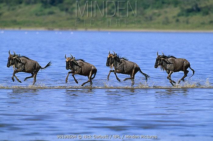 Wildebeest (Connochaetes taurinus) crossing river on migration, East Africa  -  Nick Garbutt/ npl