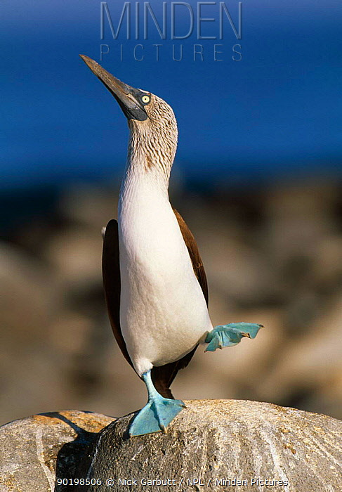 Blue footed booby 'dancing' display (Sula nebouxii) Galapagos  -  Nick Garbutt/ npl