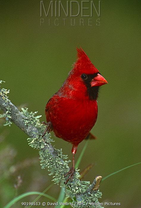 Northern cardinal (Cardinalis cardinalis) male, Texas, USA  -  David Welling/ npl