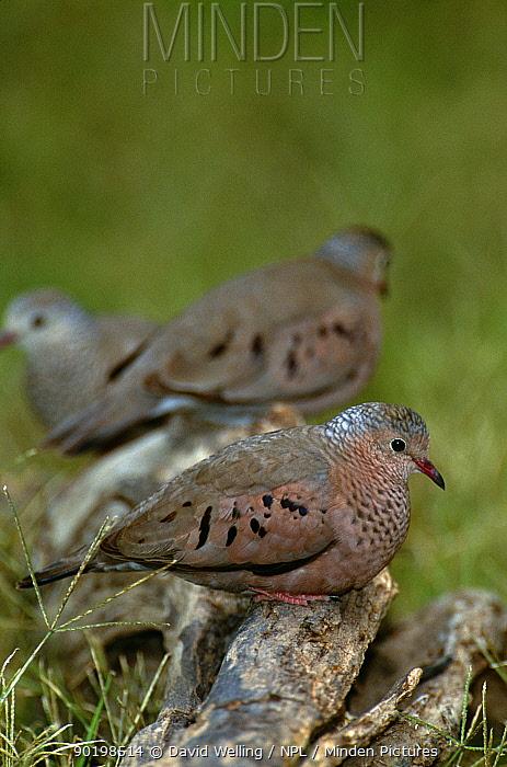 Common ground dove (Columbina passerina) Texas, USA  -  David Welling/ npl