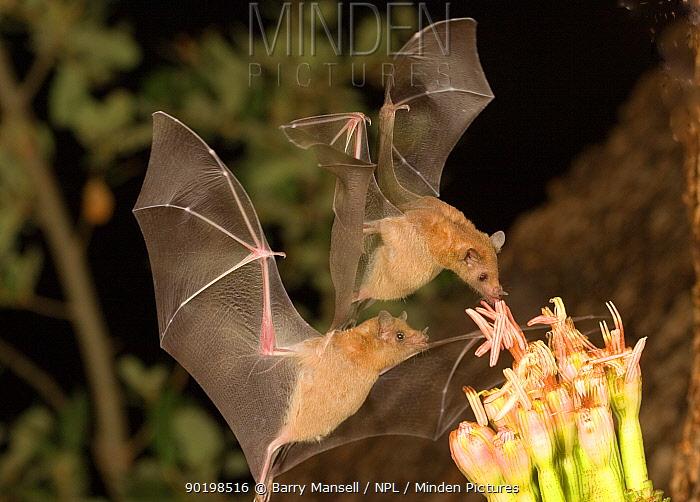 Lesser long-nosed bats (Leptonycteris curasoae) feeding on nectar of Agave plant, Endangered in the USA, Chiricahua mts, Arizona, USA  -  Barry Mansell/ npl