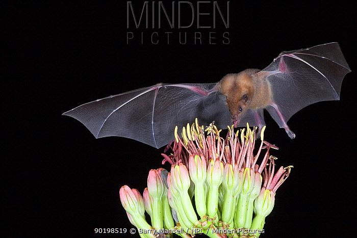 Lesser long-nosed bat (Leptonycteris curasoae) feeding on nectar of Agave plant, Endangered in the USA, Chiricahua mts, Arizona, USA  -  Barry Mansell/ npl