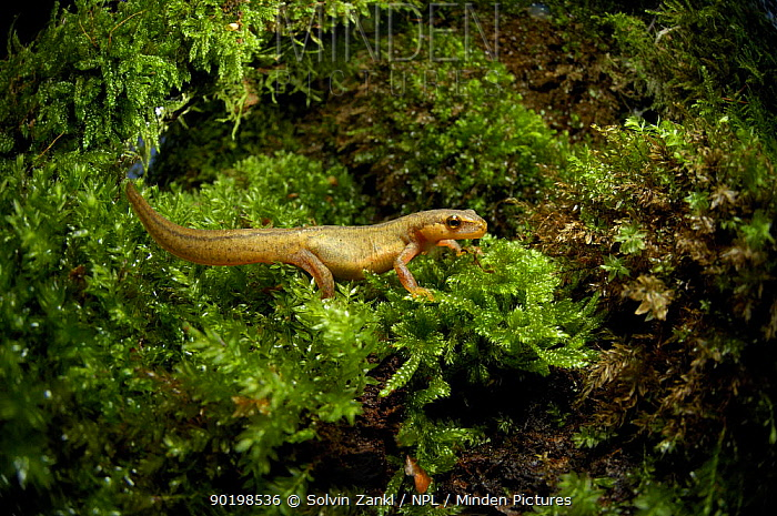 Female Palmate newt (Triturus helveticus) on moss, Germany  -  Solvin Zankl/ npl