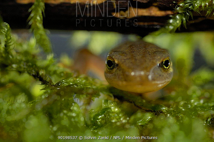 Close up of head of female Palmate newt (Triturus helveticus) on moss, Germany  -  Solvin Zankl/ npl