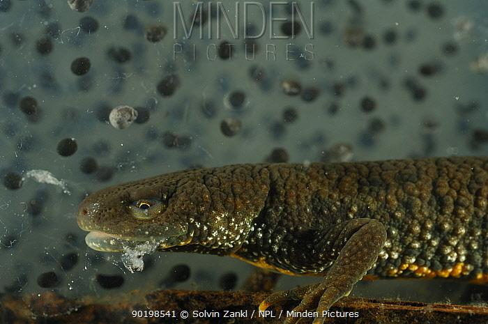 Alpine newt (Triturus alpestris) eating frogspawn, Germany  -  Solvin Zankl/ npl