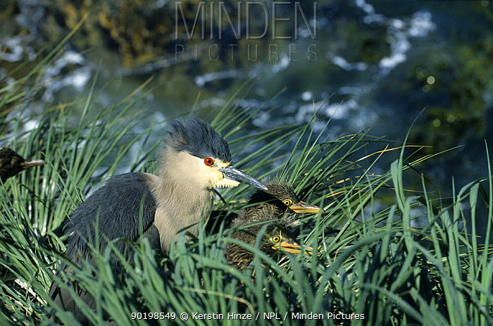 Black-crowned Night Heron (Nycticorax nycticorax cyanocephalus) in Tussock grass on cliff, with chicks in nest, Pebble Island, Falkland Islands, South Atlantic Ocean  -  Kerstin Hinze/ npl