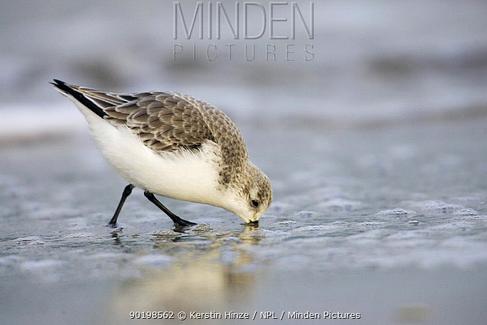 Sanderling (Calidris alba) using bill to search for food in sand, Helgoland, North Sea, Germany  -  Kerstin Hinze/ npl