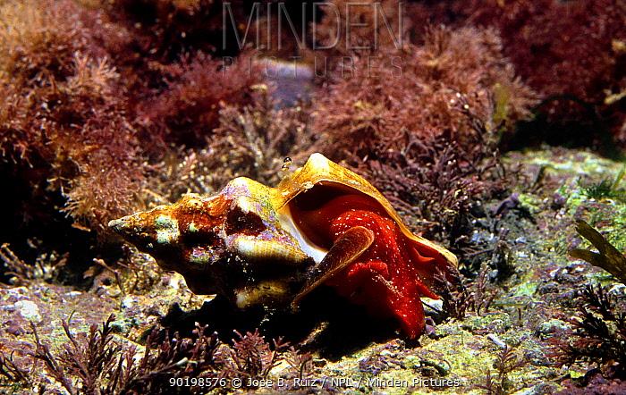 Mediterranean tulip shell snail on seabed (Fasciolaria lignaria) Mediterranean  -  Jose B. Ruiz/ npl
