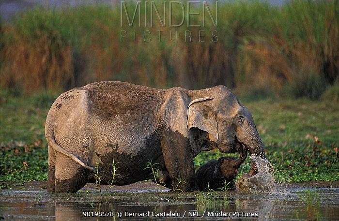 Indian elephant and young bathing (Elephas maximus) Kaziranga NP Assam India  -  Bernard Castelein/ npl