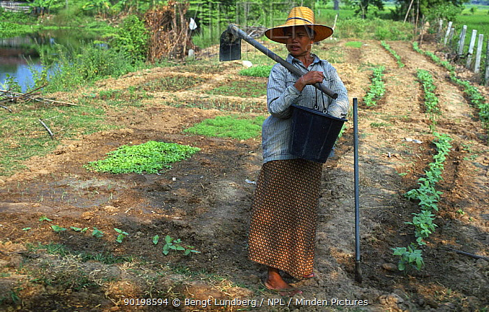 Woman growing vegetables in plot, E-Sarn, Thailand  -  Bengt Lundberg/ npl