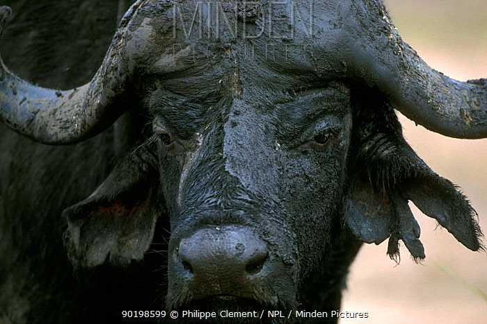 African buffalo covered with mud head portrait (Syncerus caffer) Kruger NP  -  Philippe Clement/ npl